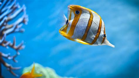 Copperband Butterfly Fish Wallpapers | HD Wallpapers | ID