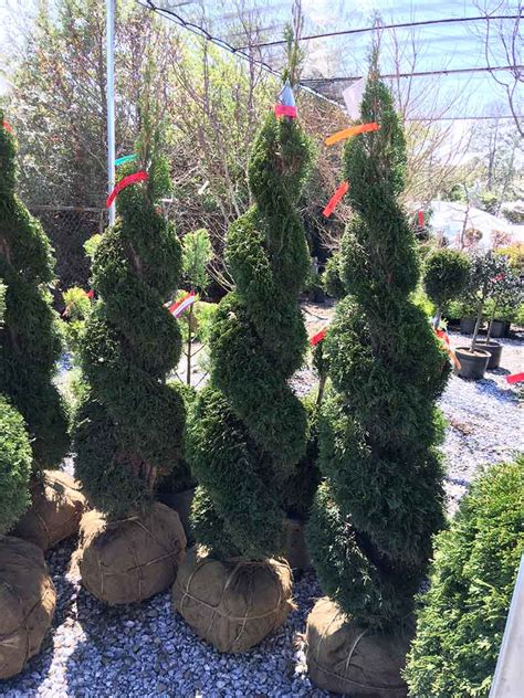 Live Double Spiral Thuja Live Topiary 6 - 7 Foot Tall
