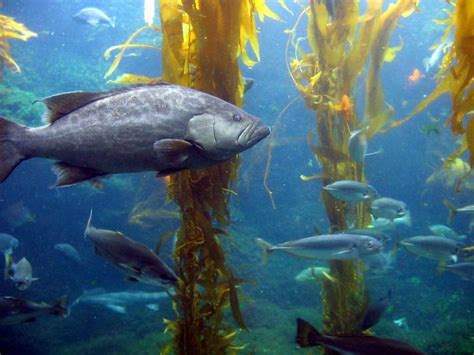 Ocean Life Kelp Forest   This was taken in San Diego at