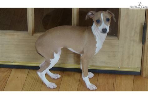 Sisters: Italian Greyhound puppy for sale near Greenville