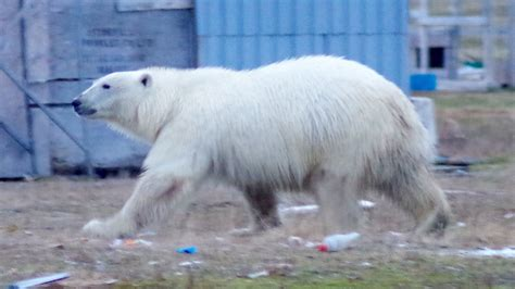 Polar bear rips 6 tents pitched in Iqaluit park - North