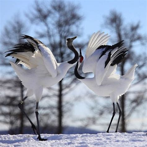 The National Bird of China | Interesting Facts about Red