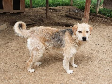 Ozzy - Stichting SOS Dogs Nederland
