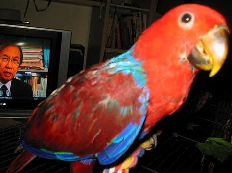 FOR SALE: Hand raised eclectus