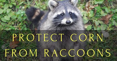 Protect Corn From Raccoons: Even Learn a Trick with Squash