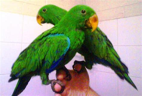 FOR SALE: Handraised eclectus boy-ready now- pet specialists