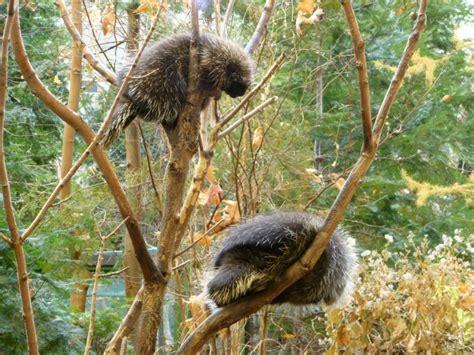 How Do Porcupines Have Sex? Very Carefully